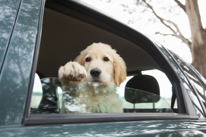 Open Your Car Windows - Labrador Puppy