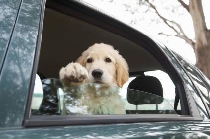 Open Your Car Windows - Labrador Puppy
