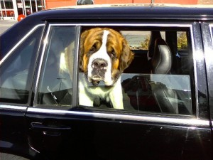 Open Your Car Windows - St. Bernard