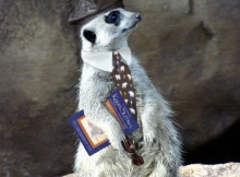 Anthropomophism Animals Dressed as Humans - Meerkat with Tie