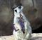 Anthropomophism Animals Dressed as Humans - Meerkat with Tie